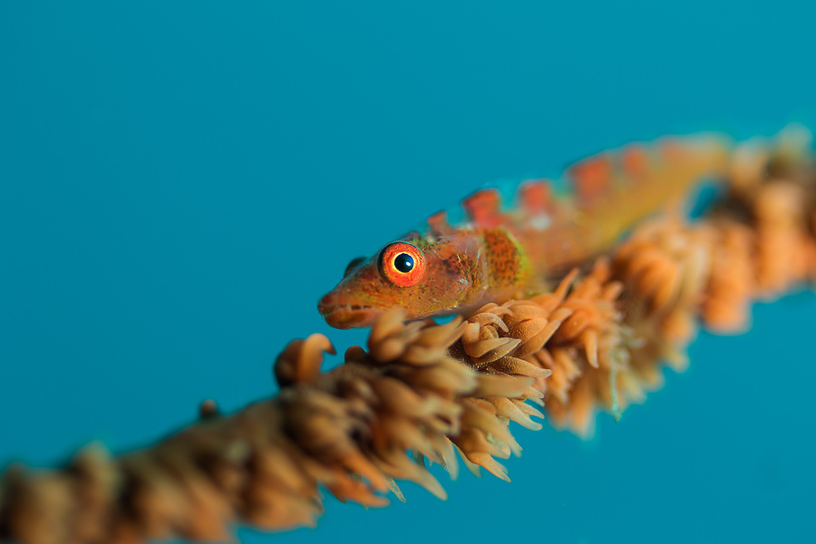 Whipcoral Goby