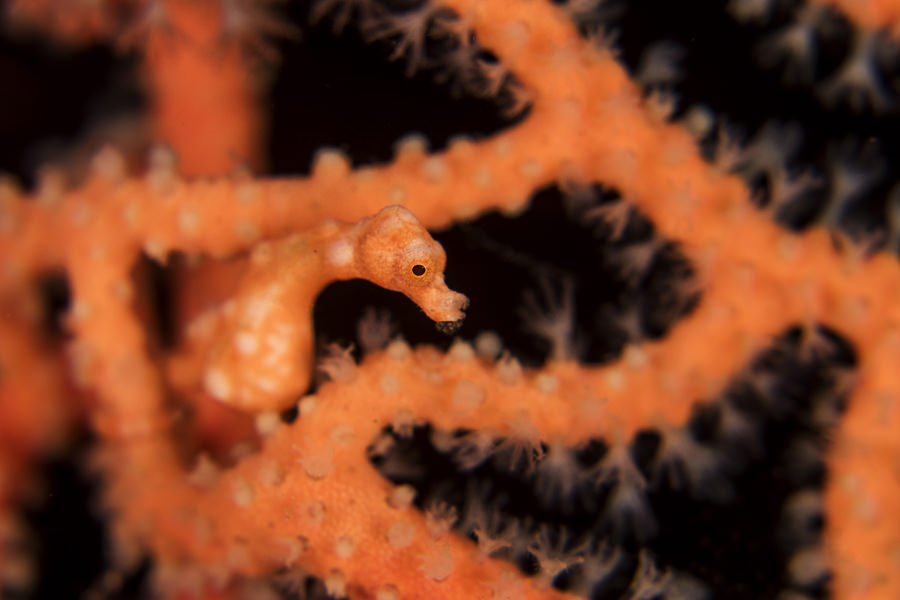 Pygmy Seahorse Denise